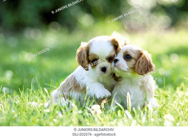 Cavalier King Charles Spaniel.Two puppies sitting on a meadow. Germany