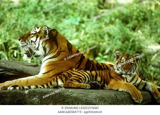 Siberian Tigers, Mother and Cub, IC