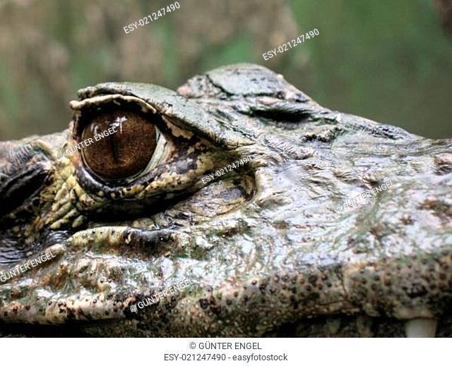Krokodil, Jacaré, Amazonas