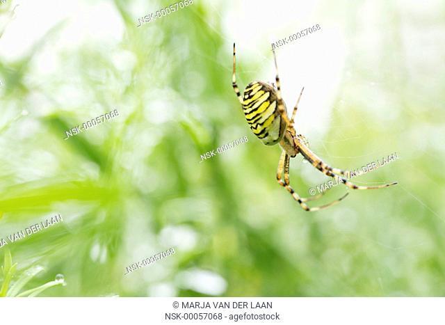 Female Wasp Spider (Argiope bruennichi) waiting in her web, The Netherlands, Gelderland