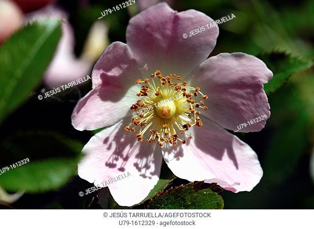 Botany, Rose, Rosa, Dog Rose, Rosa Canina, Blossom, Rosaceae, Rosales, Rosoideae