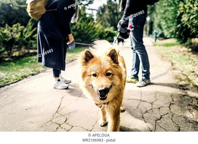 Portrait of Eurasier with young couple standing on footpath at park