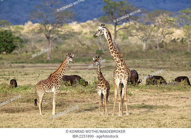Massai, Maasai, Masai Giraffe or Kilimanjaro Giraffe (Giraffa camelopardalis tippelskirchi), with young and African buffalos (Syncerus caffer)