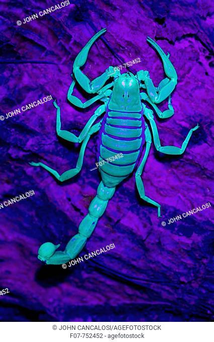 Desert Hairy Scorpion (Hadrurus arizonensis). Also called Giant Hairy Scorpion. Under UV light. Arizona. USA