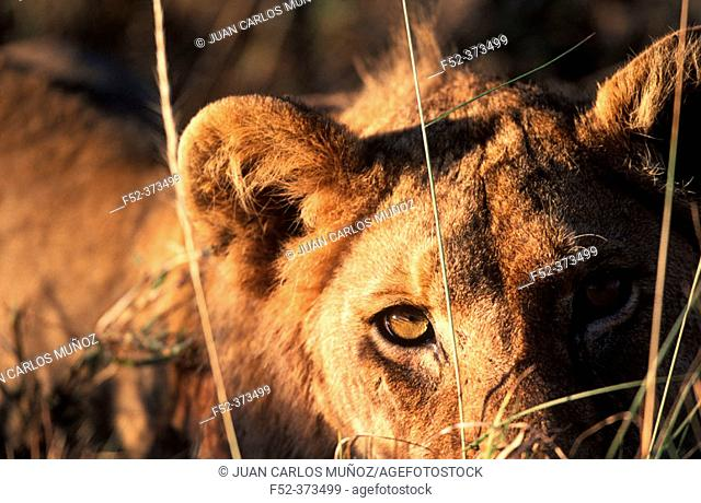 Lioness (Panthera leo). African savannah