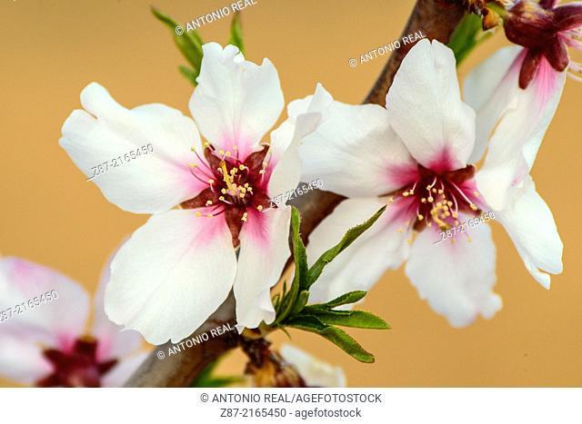 Flower of almond tree, Almansa, Albacete province, Castilla-La Mancha, Spain