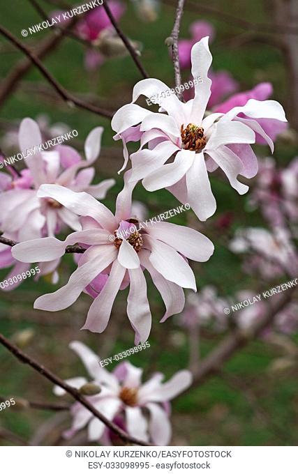 Leonard Messel loebner magnolia (Magnolia x loebneri Leonard Messel)