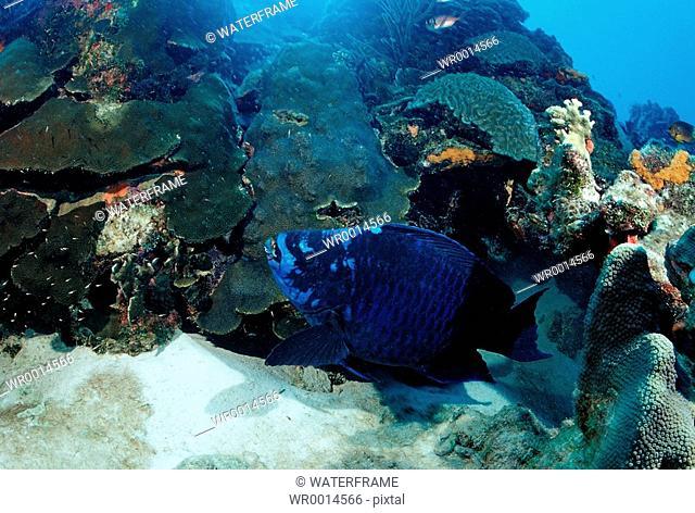 Midnight Parrotfish, Scarus coelestinus, Caribbean Sea, Cuba