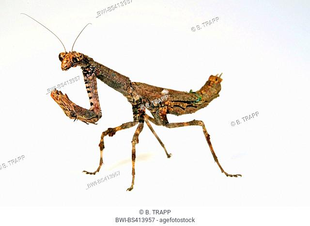 African twig mantis, Twig Mantis (Popa spurca), small brown African twig mantis, cut-out