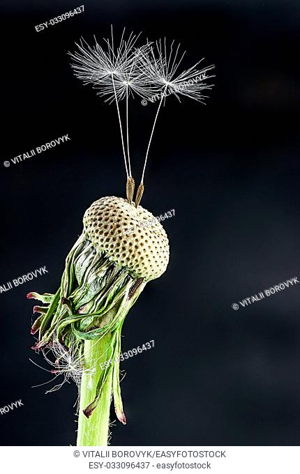Dandelion with some feather on a black background