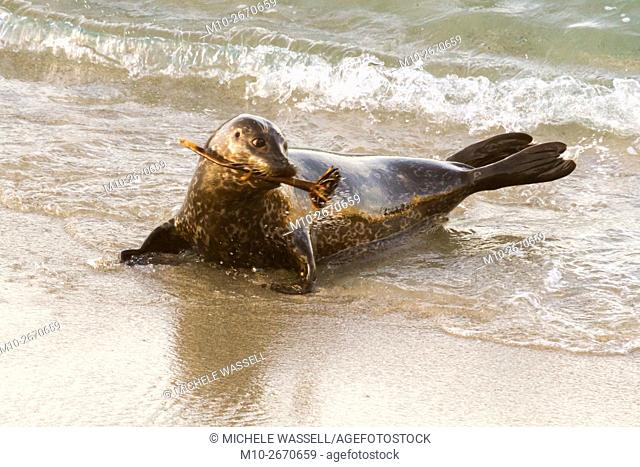 Harbor Seal playing with a piece of kelp along the shoreline of the beach in La Jolla, California