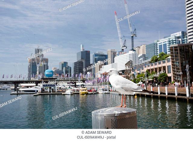 Silver Gull (Chroicocephalus novaehollandiae) perched on waterfront, Sydney, New South Wales, Australia