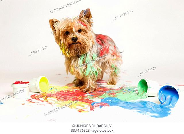 Yorkshire Terrier after finishing paw painting