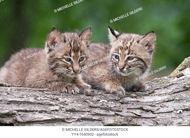 Bobcat kitten, Lynx Felis rufus, 8 weeks old, ranges from southern Canada to northern Mexico
