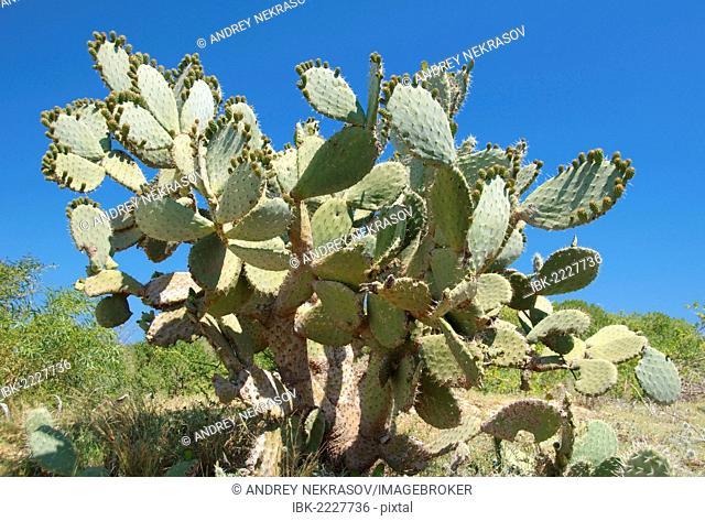 Prickly pear cactus (Opuntia ficus-indica), Tunis, Africa