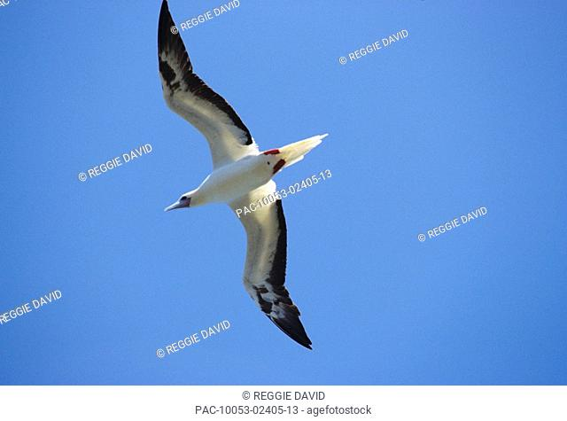 Kiribati, Red-footed Booby Sula sula rubripes adult flying