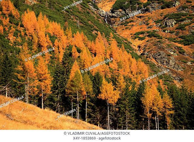 The yellow-coloured larch trees in Ziarska dolina, Zapadne Tatry - Rohace, Slovakia