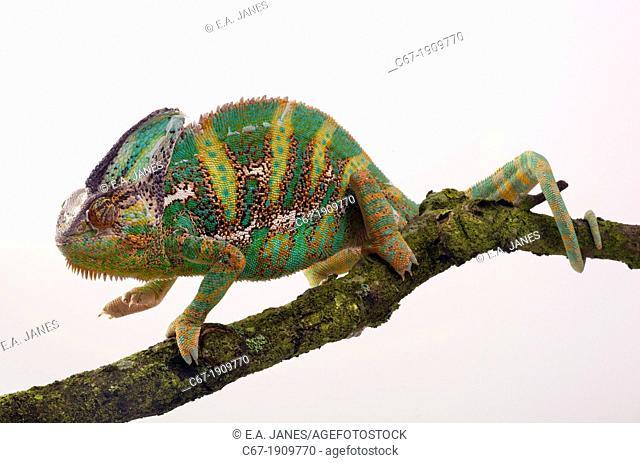 Yemen or Veiled Chameleon Chamaeleo calytratus portrait