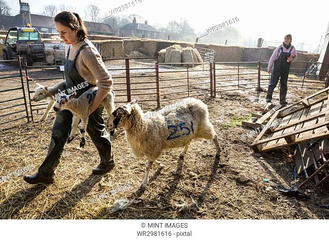 Two women in a sheep pen, one carrying two newborn lambs, an ewe walking alongside her