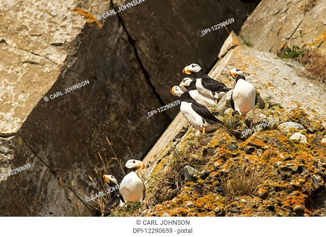 A group of horned puffins rest on a rock on Chisik Island in the Tuxedni Wilderness Area, Alaska