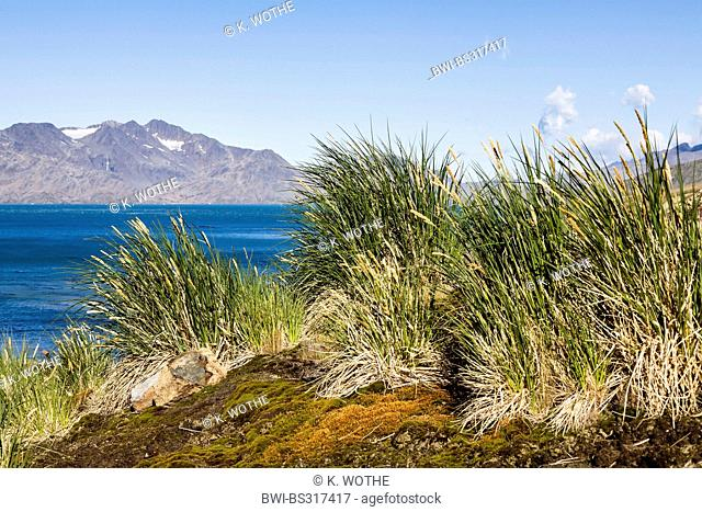 Tussock grass at a slope at the South Atlantic coast, Suedgeorgien, Cumberland East Bay, South Sandwich Islands, Grytviken