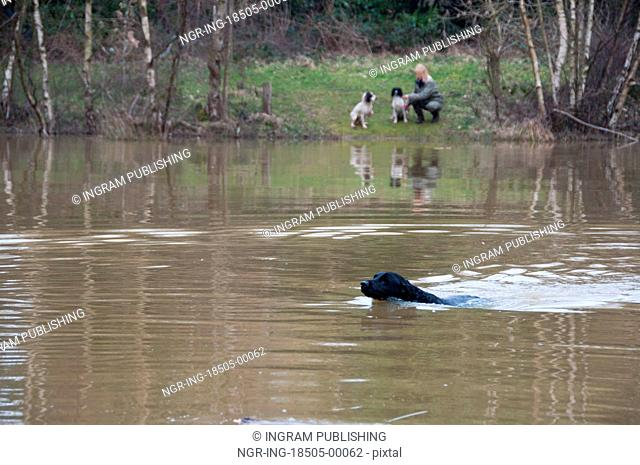 Labrador retrieving on a shoot over water while the owner looks on, across the pond, with two spaniels