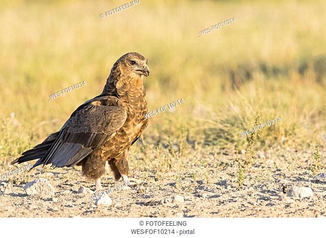 Botswana, Kgalagadi Transfrontier National Park, Mabuasehube Game Reserve, Bataleur eagle, young animal, Terathopius ecaudatus