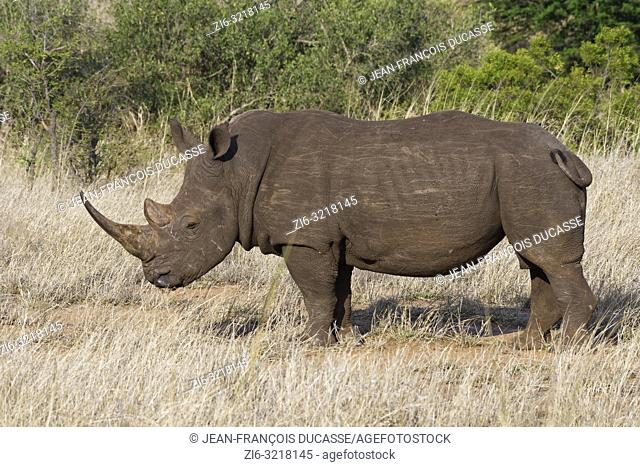 White rhinoceros (Ceratotherium simum), adult male, feeding on dry grass, Kruger National Park, South Africa, Africa