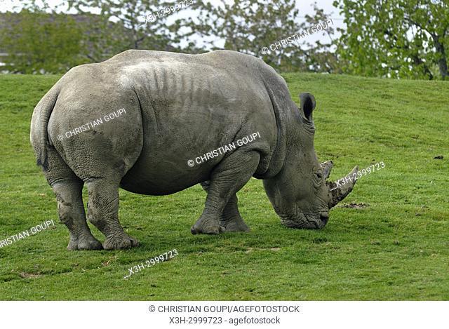 white rhinoceros (Ceratotherium simum), ZooParc de Beauval, Loir-et-Cher department, Centre-Val de Loire region, France, Europe