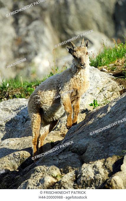 Capricorn, Ibex, Capra ibex, Switzerland