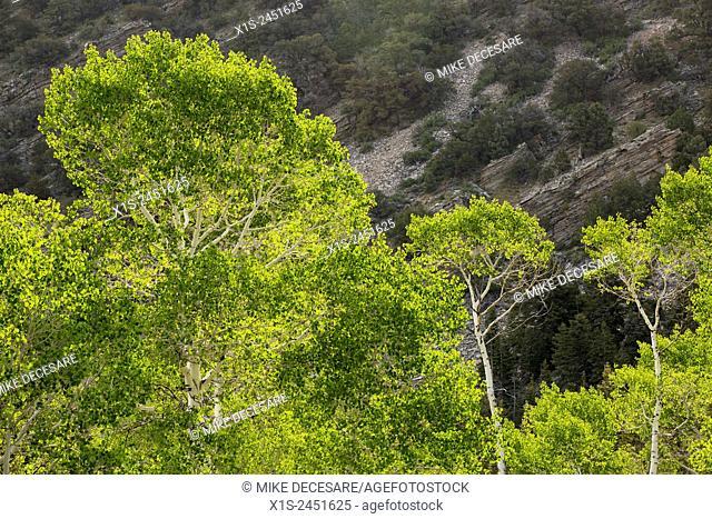 Unique bristlecone pine trees are found in A Nevada National Park