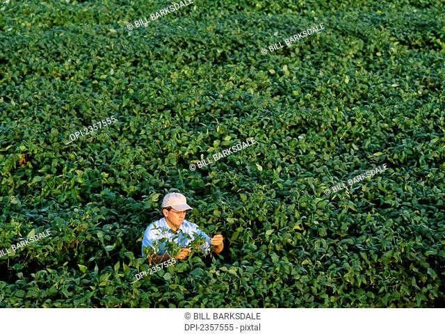Agriculture - A farmer inspects his late season Roundup Ready soybean crop for pod set / Arkansas, USA