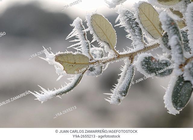 Winter ice, leaves, Miranda de Azan, Salamanca, Castilla y Leon, Spain