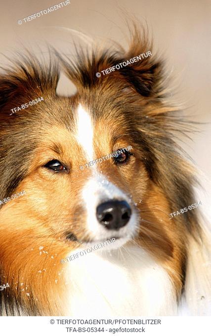 Shetland Sheepdog face