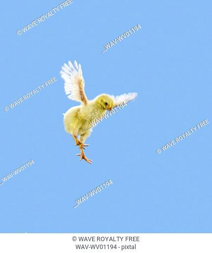 Yellow Chick Baby Chicken 'Flying'