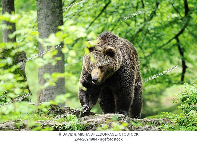 Close-up of a european brown bear (Ursus arctos) in the Bavarian Forest, Germany