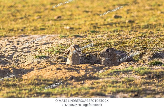 Two rabbits or hares sitting on the ground at their nest and head is sticking up, Haväng, Sweden