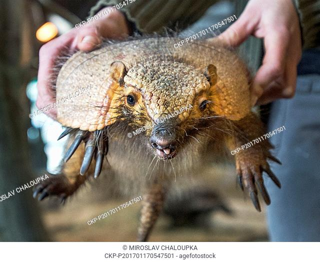 Large Hairy Armadillo, Chaetophractus villosus, pup named Cyril, born on September 2016, is presented in Pilsen Zoo, Czech Republic, on Tuesday, January 17