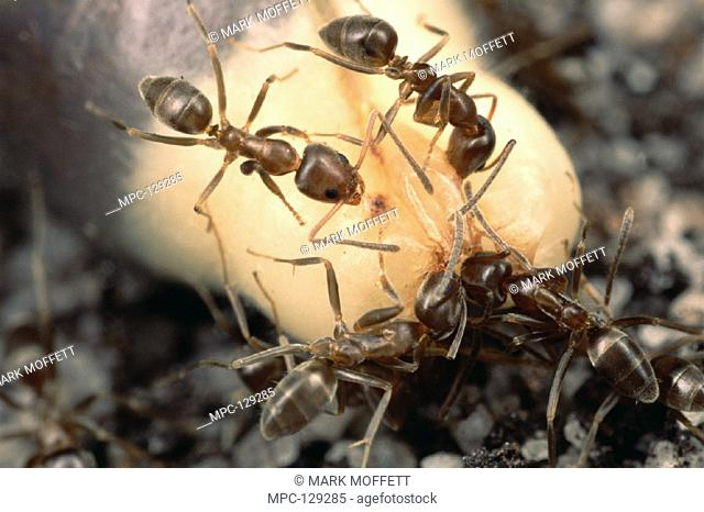 INTRODUCED (Argentine) ANTS FEED ON SOFT NUTRITIOUS ELIASOME AT THE TIP OF A (Fynbos sp.) SHRUB AND DISCARD THE SEEDS WITHOUT BURYING THEM