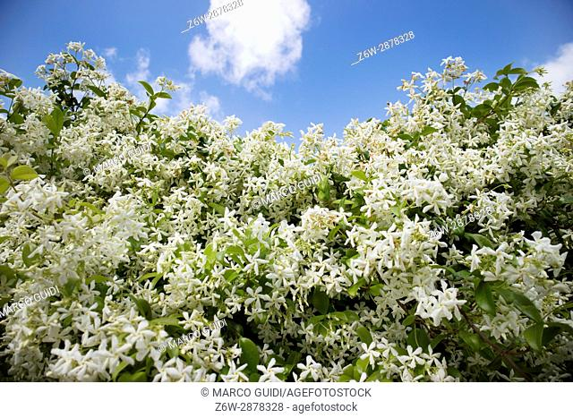 View of a hedge hedge of a flower jasmine