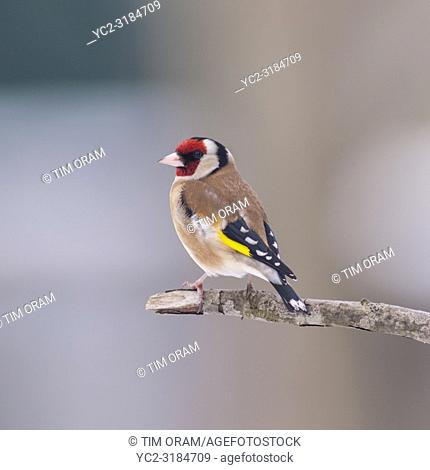 A Goldfinch (Carduelis carduelis) feeding in freezing conditions in a Norfolk garden