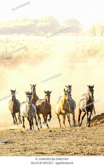 Pure Spanish Horse, Andalusian. Herd of juvenile mares galloping on dusty ground. Spain
