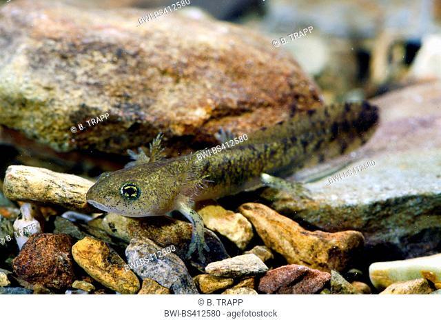 European fire salamander (Salamandra salamandra, Salamandra salamandra terrestris ), larva of an European fire salamander, Germany, North Rhine-Westphalia