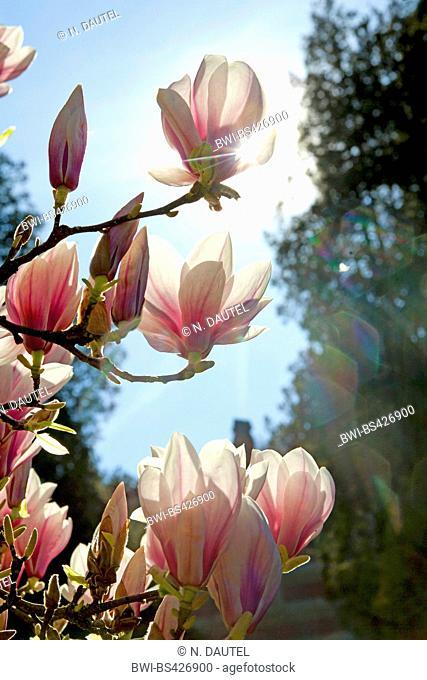 magnolia (Magnolia spec.), blooming magnolia