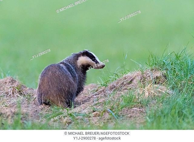 European Badger, Meles meles, Hesse, Germany, Europe