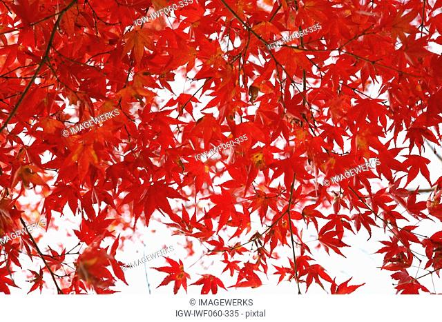 Japan, Kyoto Prefecture, Kyoto city, Red maple leaves, close-up