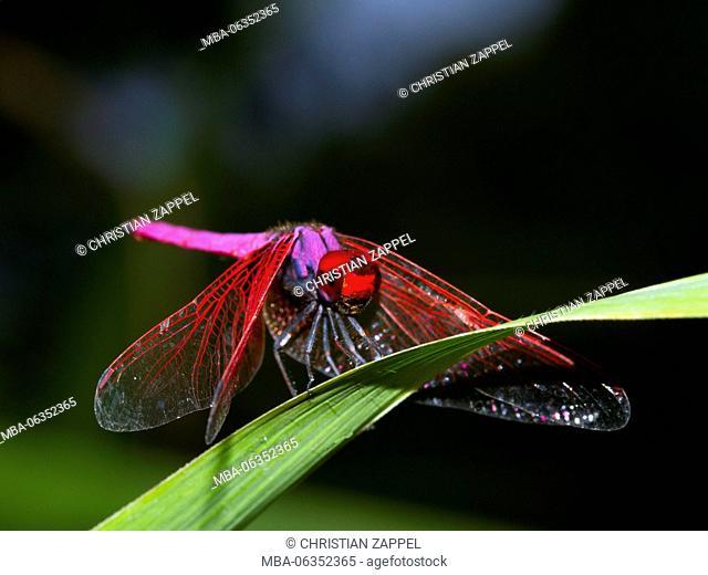 crimson marsh glider, (Trithemis aurora), national park Mae Wong, Kamphaeng Phet, Thailand