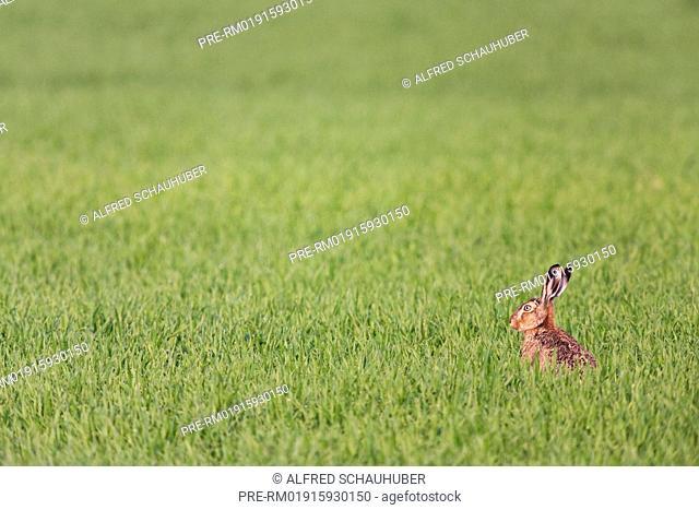 European hare in a cornfield, Lepus europaeus, Austria, Europe / Feldhase in einem Getreidefeld, Lepus europaeus, Österreich, Europa