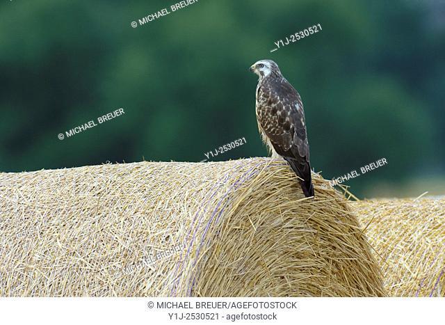 Common Buzzard (Buteo buteo) on Hay roll, Hesse, Germany, Europe