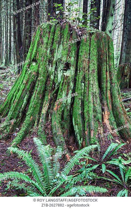 Rotting stump of a Western Red Cedar tree in a temperate rain forest